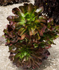 aeonium arboreum - photo/picture definition - aeonium arboreum word and phrase image