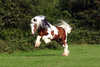 Irish Cob stallion - photo/picture definition - Irish Cob stallion word and phrase image