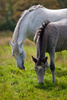 Connemara ponies - photo/picture definition - Connemara ponies word and phrase image