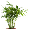 chamaedorea plant - photo/picture definition - chamaedorea plant word and phrase image