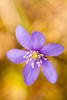 hepatica - photo/picture definition - hepatica word and phrase image
