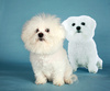 bichon frise - photo/picture definition - bichon frise word and phrase image