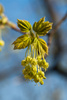 linden flowers - photo/picture definition - linden flowers word and phrase image