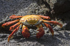 light-foot crab - photo/picture definition - light-foot crab word and phrase image