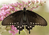 belus swallowtail - photo/picture definition - belus swallowtail word and phrase image