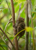 Philippine tarsier - photo/picture definition - Philippine tarsier word and phrase image
