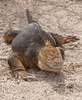 Galapagos iguana - photo/picture definition - Galapagos iguana word and phrase image