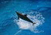 jumping dolphin - photo/picture definition - jumping dolphin word and phrase image