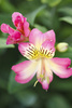 Peruvian lily - photo/picture definition - Peruvian lily word and phrase image
