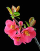 Japanese quince - photo/picture definition - Japanese quince word and phrase image