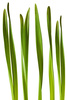 daffodil leaves - photo/picture definition - daffodil leaves word and phrase image