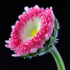 English daisy - photo/picture definition - English daisy word and phrase image
