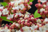 viburnum - photo/picture definition - viburnum word and phrase image