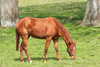 chestnut mare - photo/picture definition - chestnut mare word and phrase image