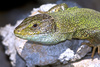 lacerta viridis - photo/picture definition - lacerta viridis word and phrase image
