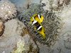 yellowtail clownfish - photo/picture definition - yellowtail clownfish word and phrase image