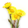 coltsfoot - photo/picture definition - coltsfoot word and phrase image