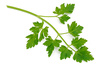 parsley sprig - photo/picture definition - parsley sprig word and phrase image