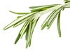 rosemary herb - photo/picture definition - rosemary herb word and phrase image
