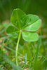 four leaf clover - photo/picture definition - four leaf clover word and phrase image