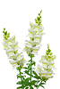snapdragon - photo/picture definition - snapdragon word and phrase image