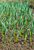 garlic saplings - photo/picture definition - garlic saplings word and phrase image