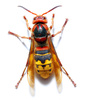 vespa crabro - photo/picture definition - vespa crabro word and phrase image