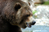 grizzly bear - photo/picture definition - grizzly bear word and phrase image