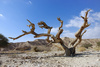 desert tree - photo/picture definition - desert tree word and phrase image