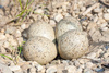 plovers nest - photo/picture definition - plovers nest word and phrase image