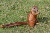 cape ground squirrel - photo/picture definition - cape ground squirrel word and phrase image