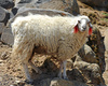 Tibetan sheep - photo/picture definition - Tibetan sheep word and phrase image
