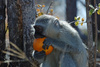 vervet monkey - photo/picture definition - vervet monkey word and phrase image