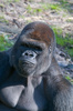 silverback lowland gorilla - photo/picture definition - silverback lowland gorilla word and phrase image