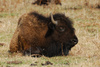 wild bison - photo/picture definition - wild bison word and phrase image