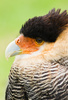caracara - photo/picture definition - caracara word and phrase image
