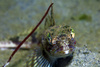 sculpin - photo/picture definition - sculpin word and phrase image