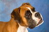 fawn boxer - photo/picture definition - fawn boxer word and phrase image