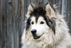 alaskan malamute - photo/picture definition - alaskan malamute word and phrase image