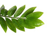zamioculcas branch - photo/picture definition - zamioculcas branch word and phrase image