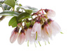cowberry blossom - photo/picture definition - cowberry blossom word and phrase image